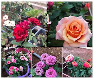 Cara Penjagaan Bunga Ros Hidup Bunga Lebat