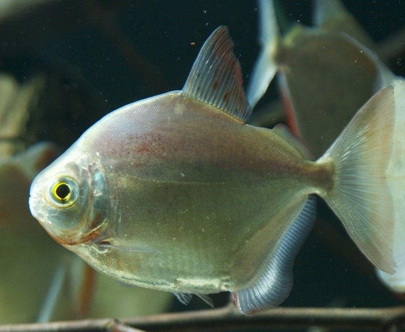Gambar Jenis Ikan Silver Dollar Metynnis altidorsalis
