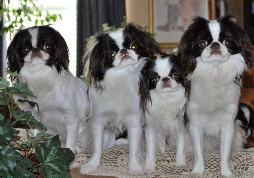 Rules of the Jungle: Japanese chin puppies