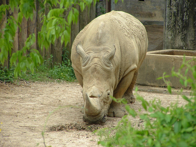 White Rhino The Biggest Animals Kingdom
