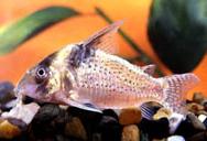 Jenis Ikan Corydoras delphax