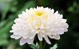 toko=bunga-surabaya-sukis-ready-bunga-krisan
