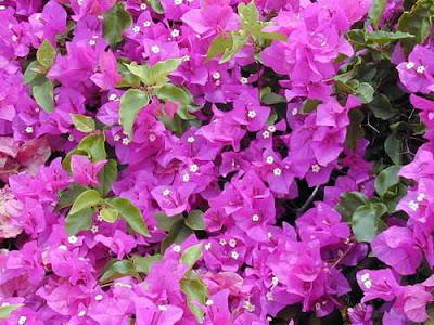 Giải mã giấc mơ thấy giàn hoa giấy & ngủ nằm mơ thấy hoa giấy