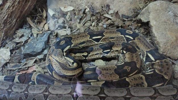 Jiboia em Espécie de Aquário Seco no Gramado Zoo