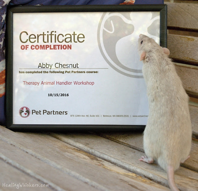 Oliver, a therapy rat in training sniffing his certificate