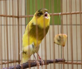 Tips dan Trik Menjaga Kesehatan Mental Burung Kenari - Solusi Menjaga Mental Burung Kenari