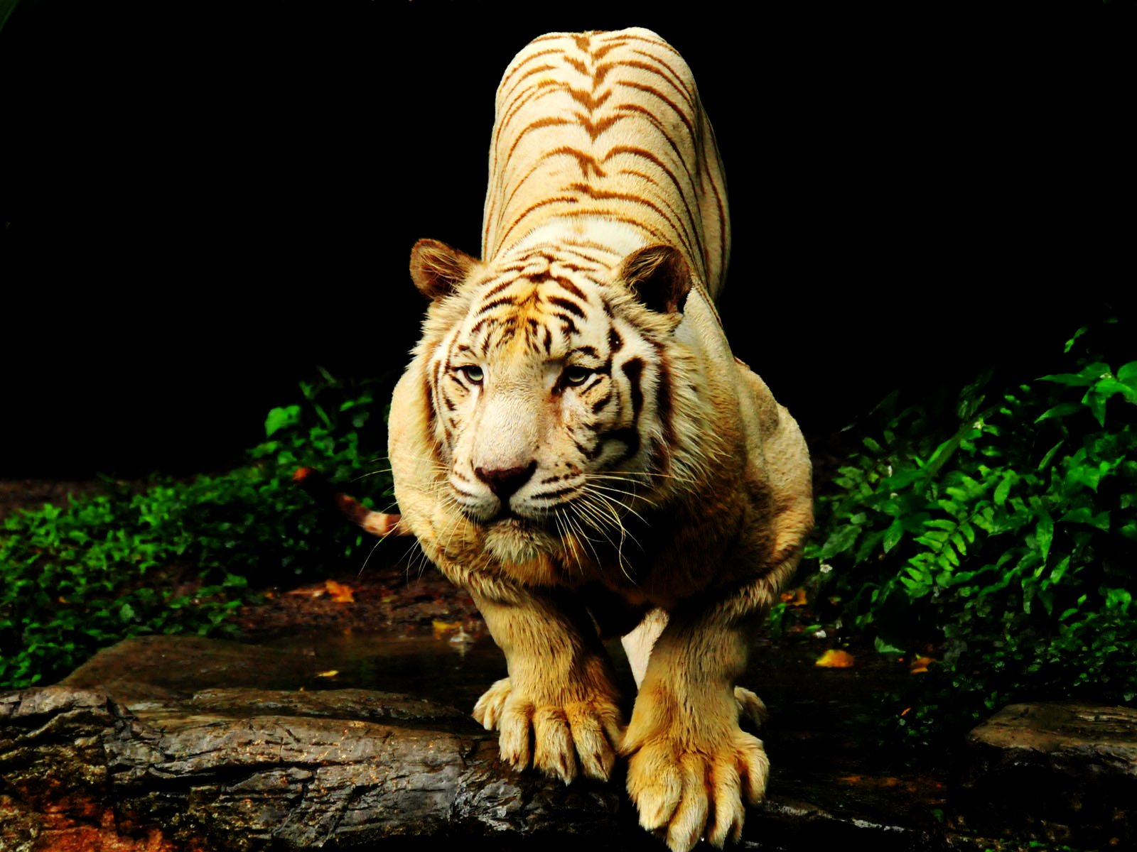 Download Tiger Attack Wallpaper Hd Wallpaper Bagus