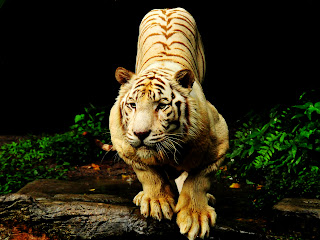 Tiger Ready to Attack in Jungle HD Wallpaper