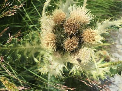 [Asteraceae] Cirsium spinosissimum