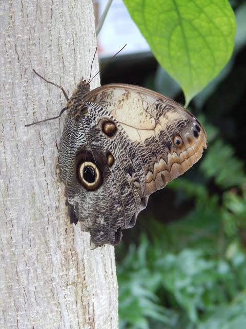 Una farfalla dai colori tenui