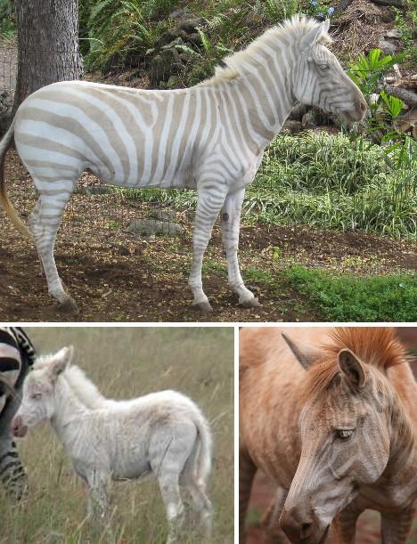 Zebra Albino