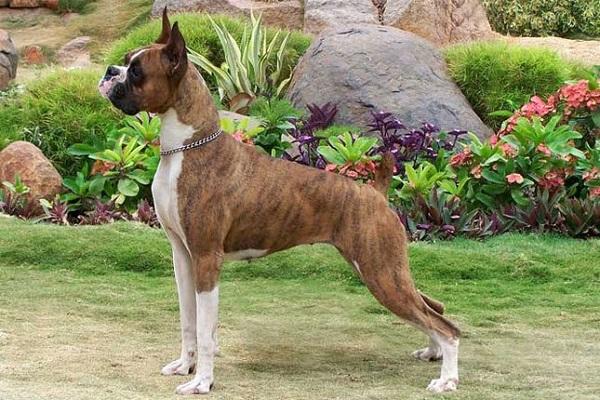 Most Dangerous boxer Dogs