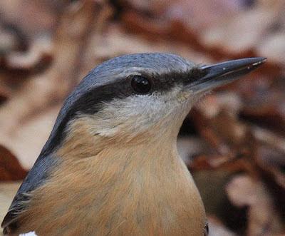 Cabeza de un trepador azul (Sitta europaea)