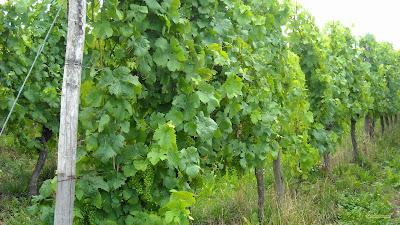 Druiven planten