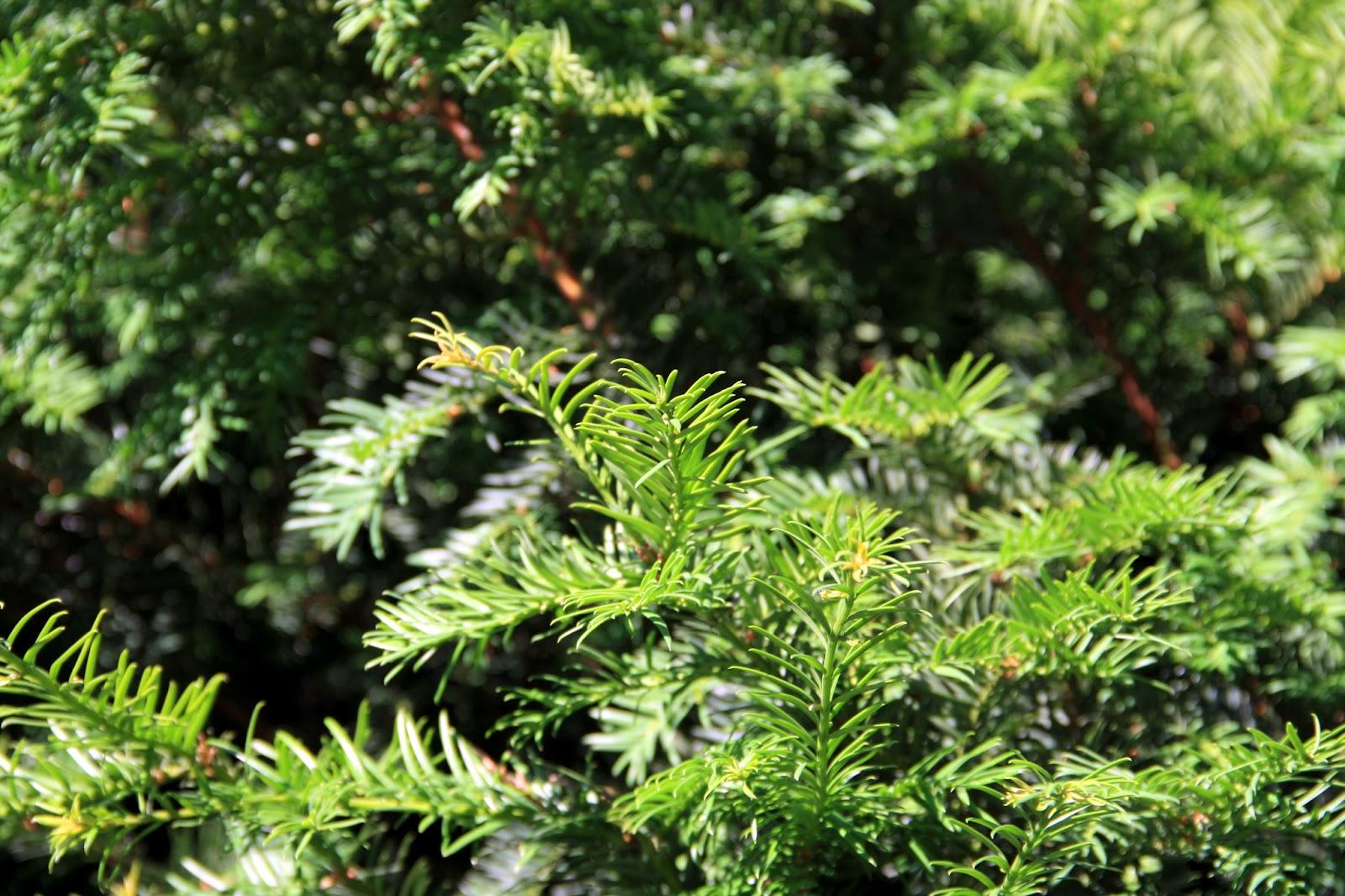 Nadelbaum Garten