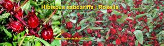 Canser use Hibiscus sabdariffa
