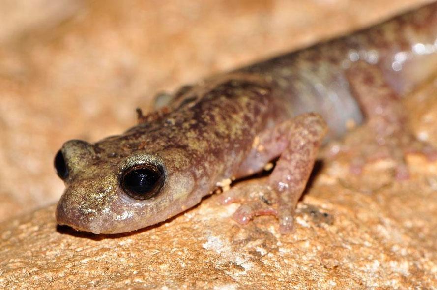 Amphibians: Monte Albo Cave Salamander - Speleomantes flavus