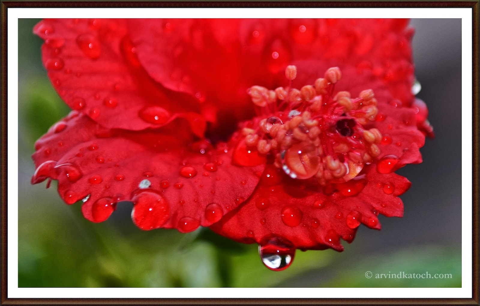 hibiscus, Red Flower, Water drops, Beautiful, Flower