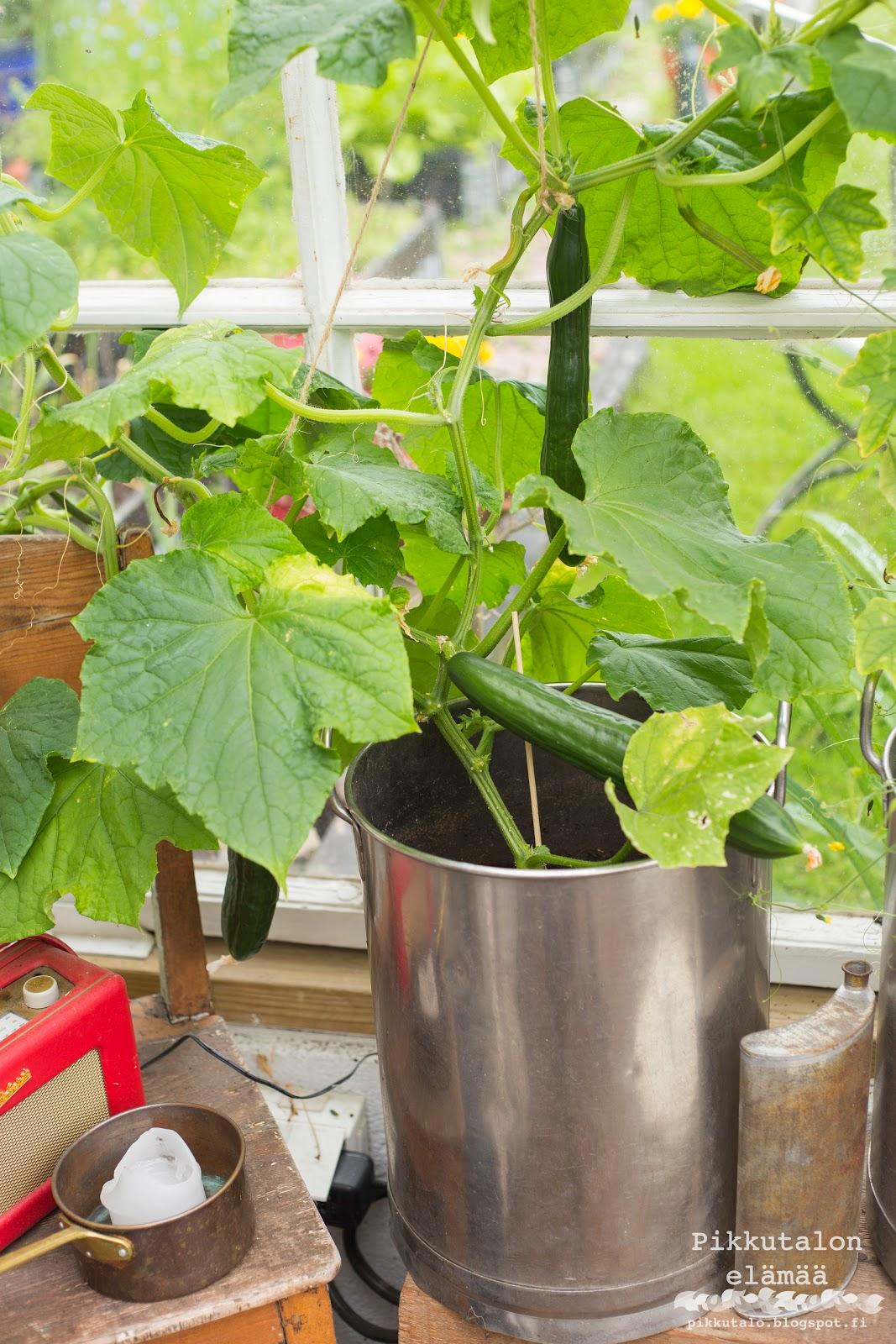 kasvihuonekurkku