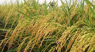 cara menambah bobot padi, obat penambah bobot padi, padi bernas, agar padi berbobot, padi berbobot