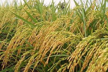 Agar padi lebih berbobot, lakukan langkah-langkah ini.
