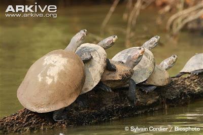 Amazon river Turtle