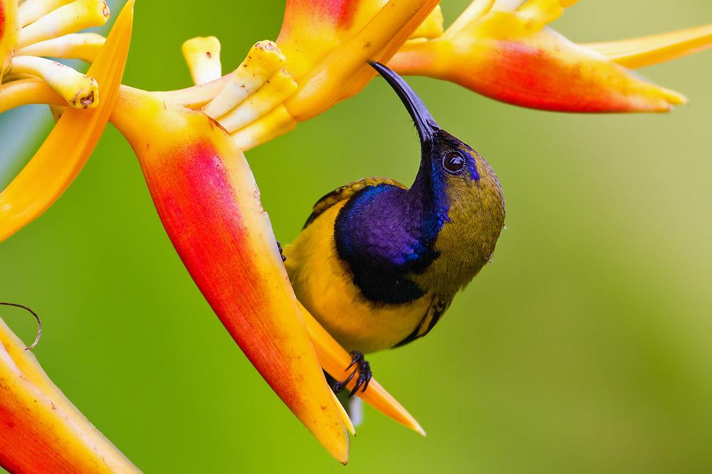 Image of a male sunbird.