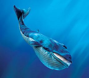 اكبر المخلوقات علي وجه الارض | الحوت الازرق اكبر حيوان علي وجه الارض  ما حجمة؟!! وماذا يأكل ؟ واين يعيش ؟