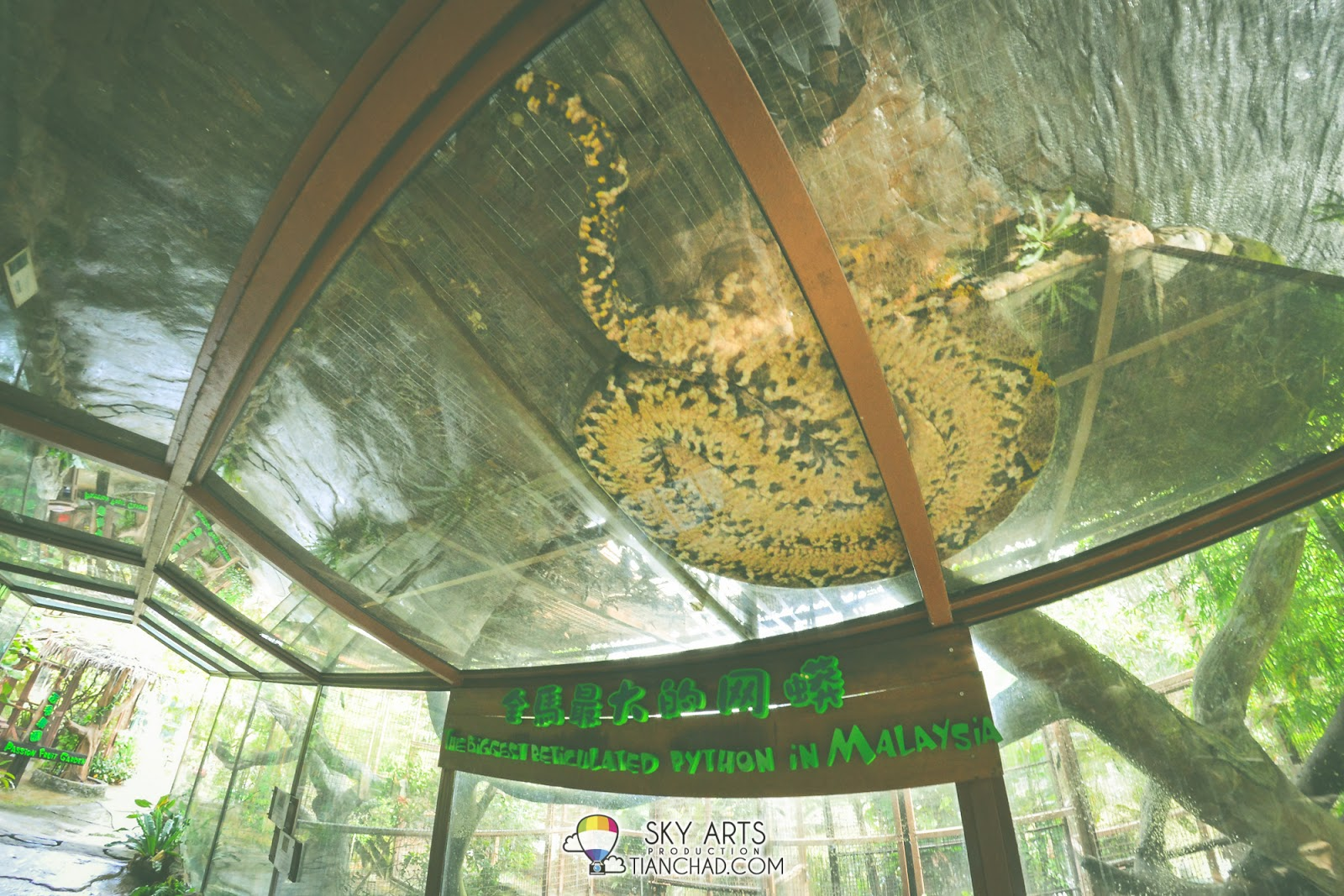 A big python resting on the top of the glass house