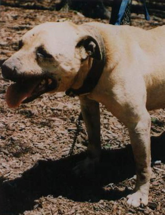 Pit Dog Report: CH CRENSHAW'S JEEP (4XW) ROM