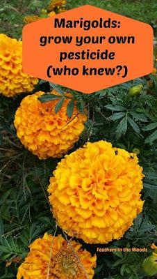 Make marigold pesticide