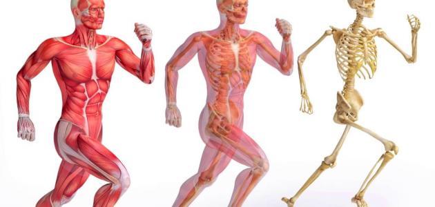 الجهاز المفصلي في الجسم الإنساني