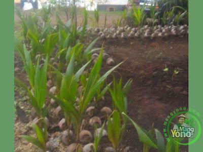 FOTO 1 : Jual Bibit Kelapa Kopyor Genjah.  Umur 3 - 4 Tahun Sudah Berbuah