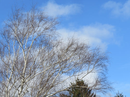 large white birch against a blue sky in winter