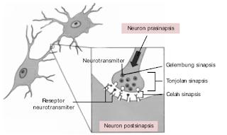 Struktur sinapsis