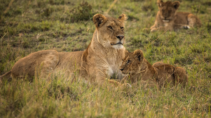 Wallpaper: The Lions of Serengeti