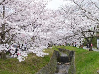 星田・妙見河原の桜