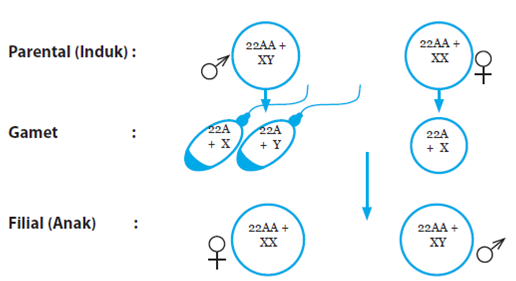 Pras academy smp peranan materi genetik dalam penentuan sifat diagram kromosom perkawinan laki laki dan perempuan ccuart Images