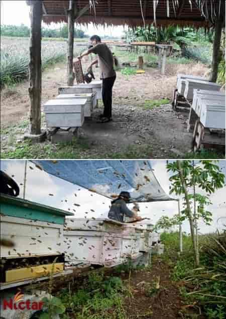 Nictar Bee pineapple farm -  Italian bees.