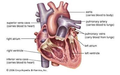 Stuktur Jantung Mamalia
