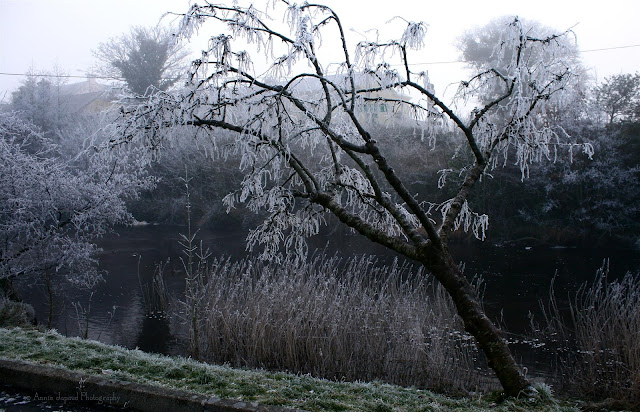 by the river Corrib, frosted tree, Oughterard
