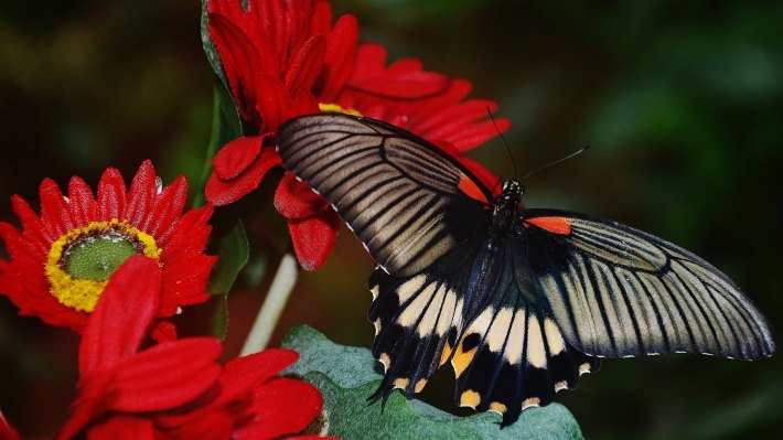 Wallpaper 2: Beautiful Butterfly on Hot Red Flowers