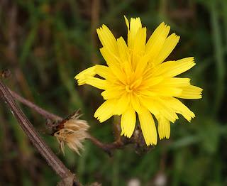 Flores amarillas de parracas (Picris hieracioides)
