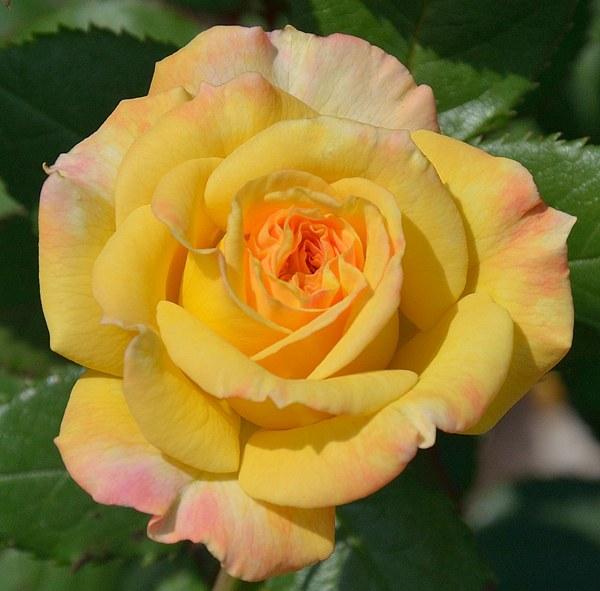 Gartenspass сорт розы фото