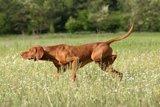 Dog intelligence-dog-pet-dog breeds-pets