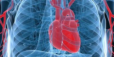 Rahasia Kerja Jantung yang Tak Kenal Henti