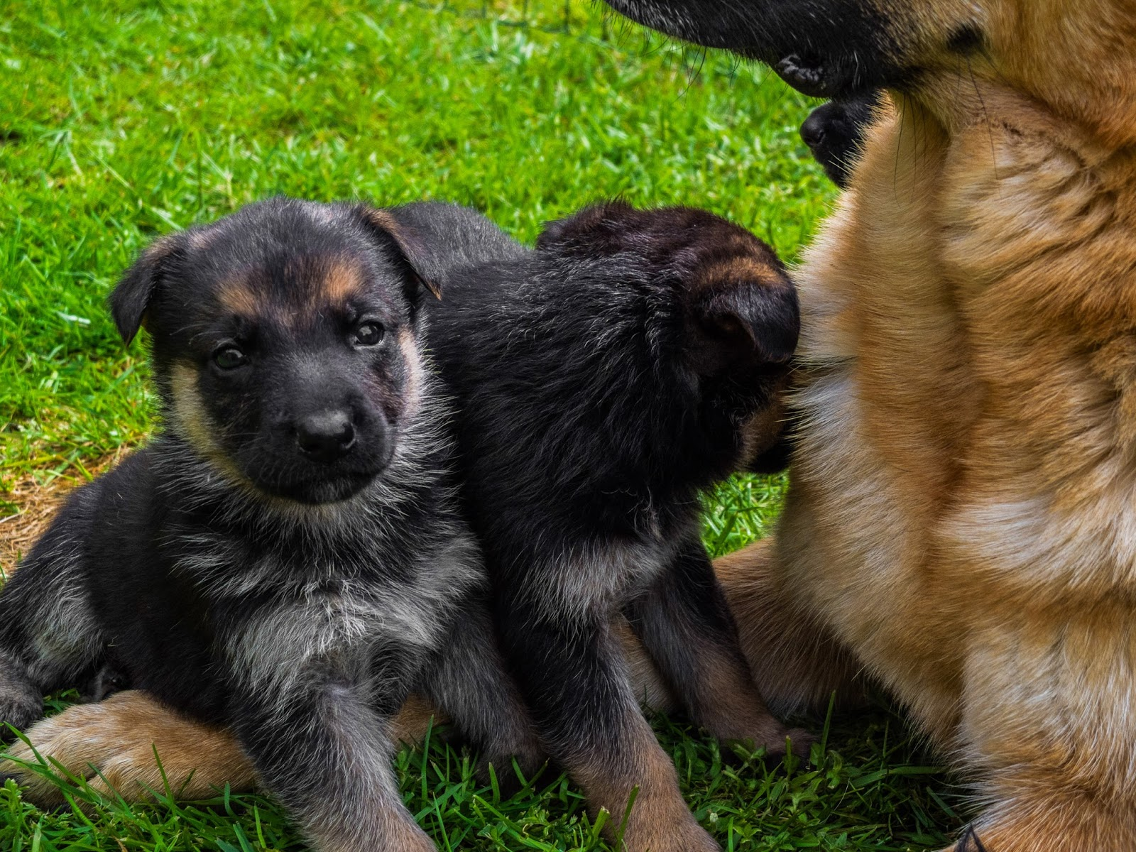 4 week old German Shepherd pups sitting on the grass in front of mom.