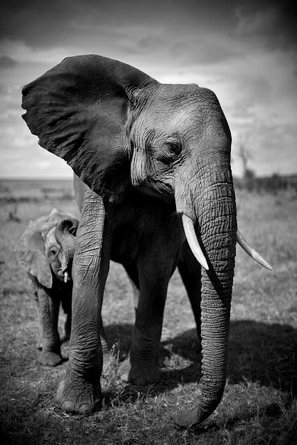 Elefante con elefantino, Kenya, Fotografia di Christian Cravo