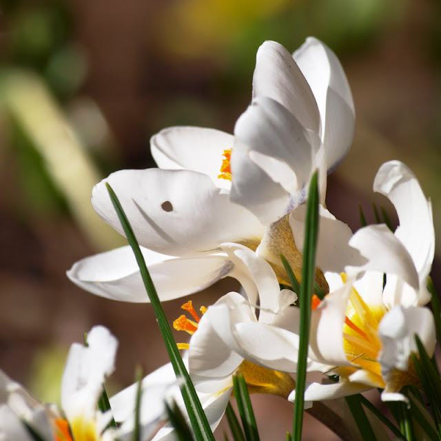 Hvid krokus i haven