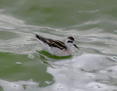 Latest : Red-necked Phalarope 165